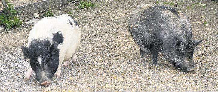 Noch bis vor Kurzem zauberten die beiden Stallschweine Lissy (links) und Susi